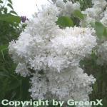 Hochstamm Edelflieder Madame Lemoine 100-125cm - Syringa vulgaris