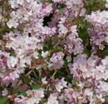 Maiblumenstrauch Codsall Pink 80-100cm - Deutzia scabra