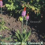 Orchideen Primel - großer Topf - Primula vialii
