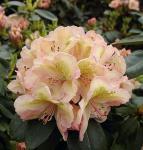 Großblumige Rhododendron Belkanto® 40-50cm - Alpenrose