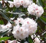 Wildform Rhododendron fortunei 40-50cm - Rhododendron fortunei