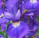Ostsibirische Schwertlilie - Iris sanguinea