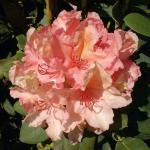 Großblumige Rhododendron Brasilia 40-50cm - Alpenrose