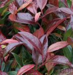 Kleine Traubenheide Royal Ruby 30-40cm - Leucothoe keikei