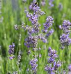 Echter Lavendel Munstead - großer Topf - Lavandula angustifolia