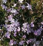 Niedrige Flammenblume Early Spring Lavender - großer Topf - Phlox subulata