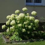 Ballhortensie Lime Rickey 30-40cm - Hydrangea arborescens