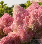 Hochstamm Rispenhortensie Vanille Fraise® 100-125cm - Hydrangea paniculata
