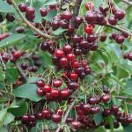 Sauerkirsche Schattenmorelle 60-80cm - dunkelrote saure Früchte