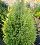 Garten Zypresse Sunny Smile 25-30cm - Chamaecyparis lawsoniana
