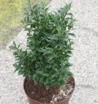 Myrtenblättriger Ilex 25-30cm - Ilex aquifolium