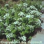 Birkenblättrige Spiere Tor Gold 40-60cm - Spiraea betulifolia