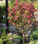Hochstamm Weigelie Bristol Ruby 60-80cm - Weigela