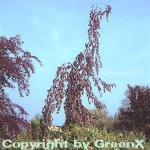 Trauer Blutbuche Purple Fountain 100-125cm - Fagus sylvatica