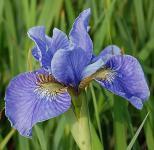Japanische Sumpf Schwertlilie Himmel von Komi - Iris ensata