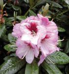 Großblumige Rhododendron Cassata 40-50cm - Alpenrose