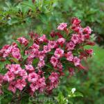 Weigelie Bouquet Rose 60-80cm - Weigela florida