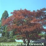 Roter Fächerahorn 80-100cm - Acer palmatum Atropurpureum