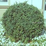 Zwerg Buchsbaum Blauer Heinz 20-25cm - Buxus sempervirens Blauer Heinz