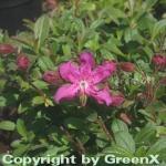 Zwerg Rhododendron camtschaticum 10-15cm - Rhododendron camtschaticum