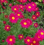 Bunte Magerite Robinons rot - Tanacetum coccineum