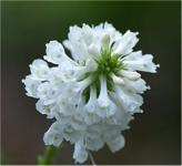 Kuhtritt Alba - Wulfenia carinthiaca
