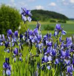 Sibirische Schwertlilie Annick - Iris sibirica