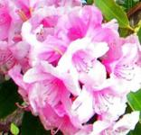 Großblumige Rhododendron Pink Pearl 40-50cm - Alpenrose