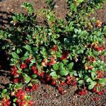 Preiselbeere Red Pearl 15-20cm - Vaccinium vitis idaea