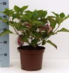Teller Hortensie Cotton Candy® 20-30cm - Hydrangea serrata