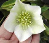 Christrose Lenzrose White Lady - Helleborus orientalis