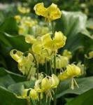 Stern Hundszahn Lilie Pagode - Erythronium tuolumnense