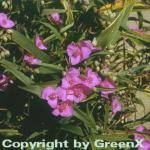 Dreimasterblumen Karminglut - Tradescantia andersoniana