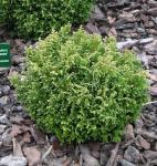 Gelbgrüne Zwergscheinzypresse 15-20cm - Chamaecyparis pisifera