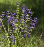 Wiesen Salbei Rhapsody in Blue - Salvia pratensis