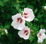 Garteneibisch Helen 60-80cm - Hibiscus