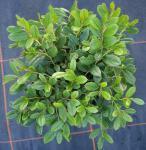 Scheinbeere Hook 20-25cm - Gaultheria hookeri