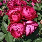 Gourmet Rose Harald Wohlfahrt® 30-60cm