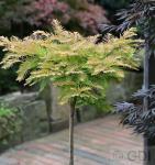 Hochstamm Kugel Urweltmammutbaum Matthaie 100-125cm - Metasequoia glyptostroboides