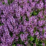 Echter Thymian Tabor - Thymus vulgaris