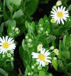 Wild Aster Starshine - Aster ageratoides
