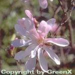 Sternmagnolie Leonard Messel 80-100cm - Magnolia loebneri