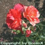 Malerrose Grimaldi® 30-60cm