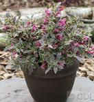 Zwerg Weigelie Monet® 20-30cm - Weigela florida