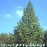 Urweltmammutbaum Chinesisches Rotholz 100-125cm - Metasequoia glyptostroboides