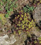 Zypressen Wolfsmilch Fens Ruby - Euphorbia characias