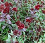 Bartnelke - Dianthus barbatus