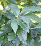 Eßkastanie 125-150cm - Castanea sativa