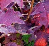 Eichenblättrige Hortensie Peewee 80-100cm - Hydrangea quercifolia