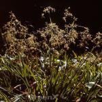 Waldmarbel Sherwood - Luzula sylvatica
